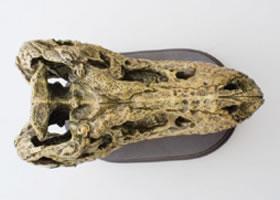 スカルジョーズモデル ティラノサウルス真上から