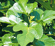 Mulberry leaves (Produced in Japan, no use of agricultural chemical)
