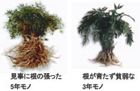 Japanese mountain carrot