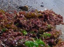 海藻イメージ