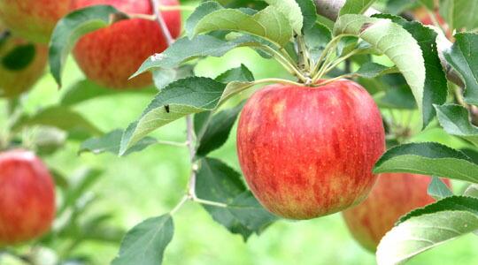 「りんごの写真」の画像検索結果