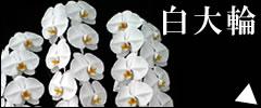 胡蝶蘭 白大輪