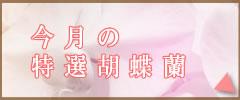 今月の特選胡蝶蘭