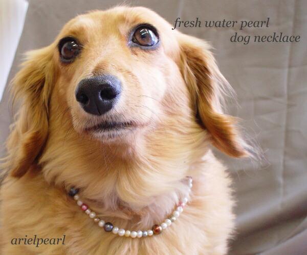珍珠犬图片可爱幼犬