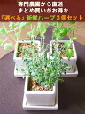 High-quality herbs directly from warehouse King fresh herbs deals series professional farmers! Your favorite herbs to pick three. Happy triple 2770 Yen! Interior / ornamental plants and gift food / kitchen / anniversary