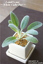 Fresh herb is shipped directly by a farmhouse specialized in the fresh herb series of Zao! Lamb's ear/White cube Pot Rams ear white cube arrangement interior / houseplant / insecticide / viewing present / gift / memorial day