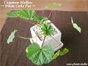 자오의 신선한 나물 시리즈 전문 농가에서 신선한 허브를 직 송! Common Mallow/White cube Pot コモンマロウ 화이트 큐브 어레인지 실내 관 엽 식물/요리/향료 주방/선물/기념일