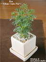 ☆ English Garden Variety ☆ ★ ZAO Wang direct! Fresh herb ★ Rue/White cube modern Pot Lou / white cube pot Interior / plants / kitchen / cooking aroma / gifts / anniversary