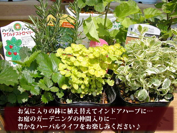 お好みの鉢やお庭のガーデニングにぴったりな新鮮ハーブ苗ポット