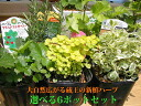 ★ ZAO fresh herbs! high quality herbs directly from the seedling pot series professional farmers! 6 Herb seedlings can choose from more than 40 deals pot set! Interior / ornamental plants and gift food / kitchen / anniversary