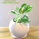 ポトス 감상/퍼펙트 서클 화이트/관 엽 식물