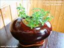 벵골 보리수/샹그릴라/달걀 화분 브라운/관 엽 식물