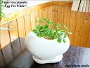 벵골 보리수/샹그릴라/달걀 냄비 화이트/관 엽 식물