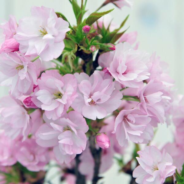 桜サクラ山桜