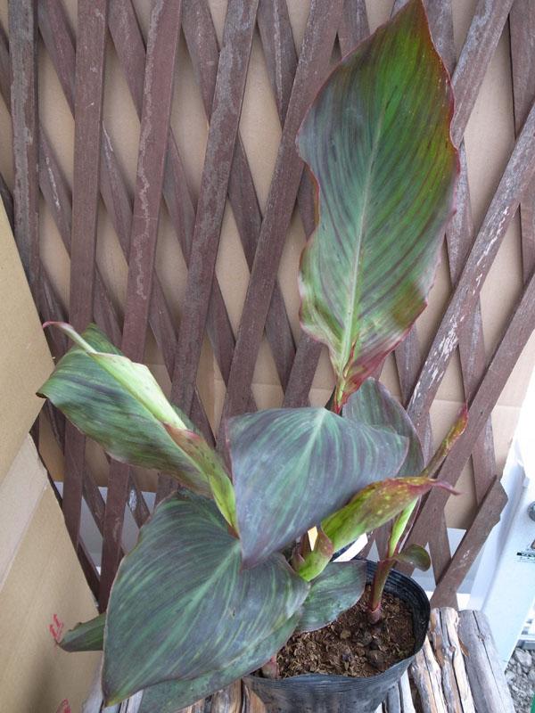 カンナ (植物)の画像 p1_19