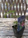 苦铁线莲公主戴安娜花或植物与葡萄结合乡村女王多年生植物在那里你