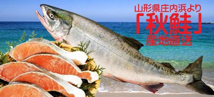 秋鮭 日本海は山形県庄内浜より産地直送