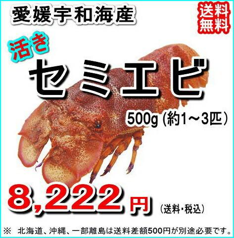 愛媛宇和海産 『セミエビ 500g』【送料無料】