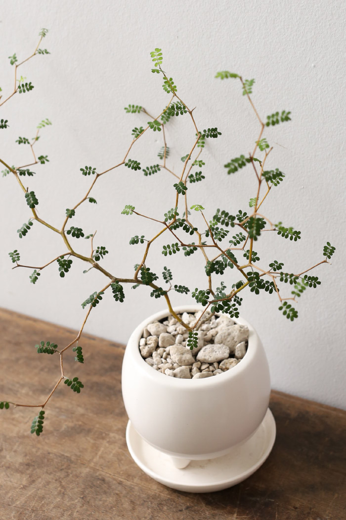ソフォラ・ミクロフィラ / Sophora microphylla