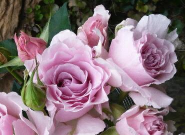 四季咲きバラ ラ・マリエ  Click!