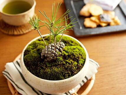 松ぼっくり盆栽とお菓子セット