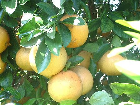 グレープフルーツの木