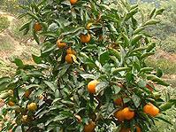 三ヶ日ミカンの栽培風景