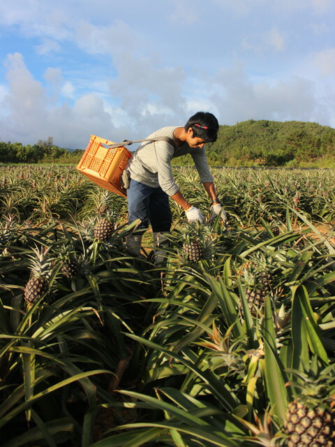 ピーチパインの収穫