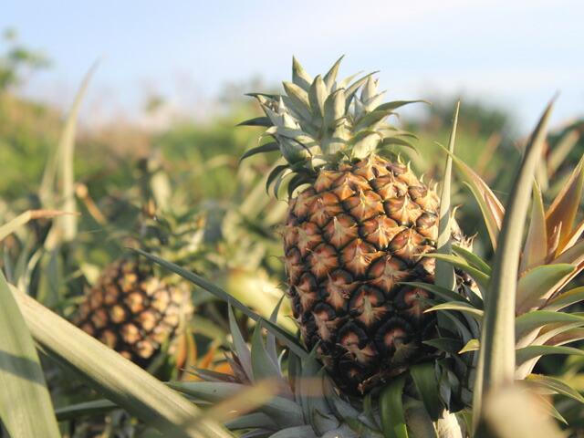 収穫間近のピーチパイナップル!