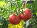 クラウンメロンのガラス温室で作った完熟トマト