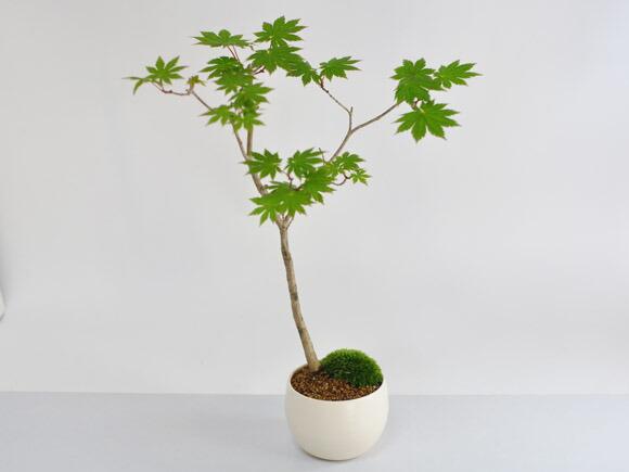 枫树盆栽怎么养