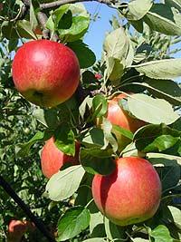 おいしさ本物「葉とらずりんご」今週は500箱10000玉完売!!リンゴ大好きさんこの指とまれ〜♪...