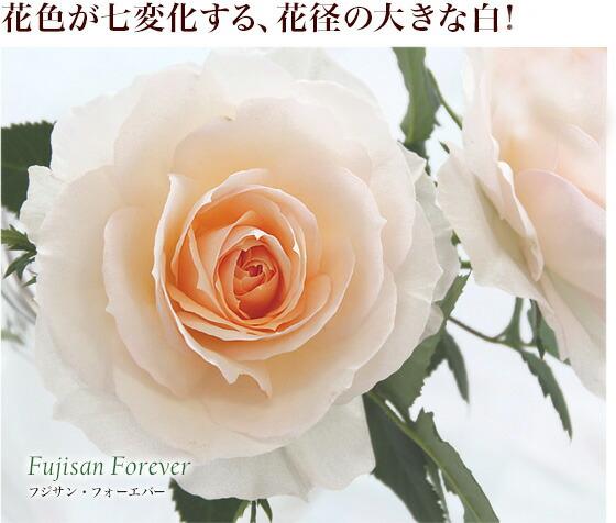 フジサン・フォーエバー|花色が七変化する、花径の大きな白!
