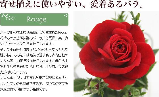 寄せ植えに使いやすい、愛着あるバラ。