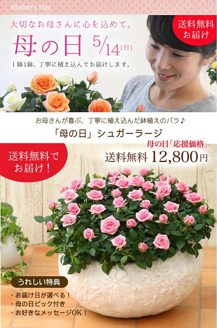 【母の日】送料無料★シュガーラージ!