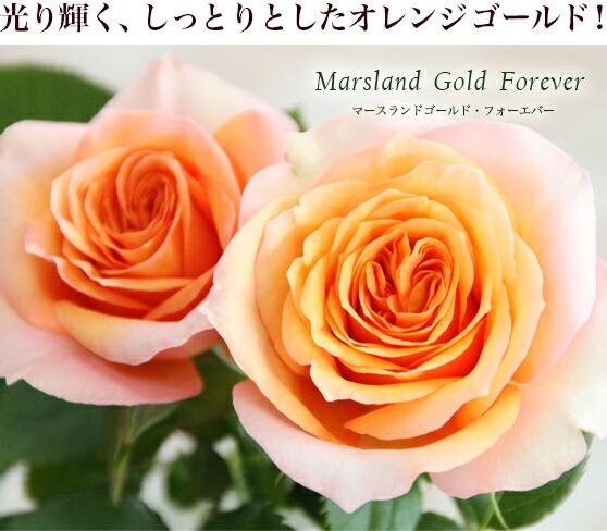 光り輝く、しっとりとしたオレンジゴールド!マースランドゴールド・フォーエバー