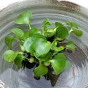 (Waterside plants) full ( hyacinth ) per share