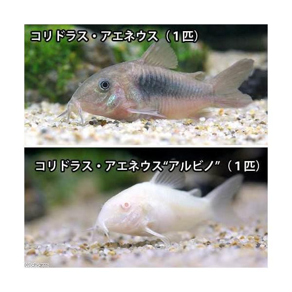 (熱帯魚)コリドラス・アエネウス(1匹)