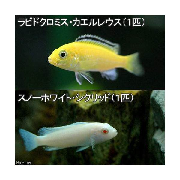 (熱帯魚)ラビドクロミス・カエルレウス(1匹) + スノーホワイト・シクリッド(1匹) 北海道・九州航空便要保温