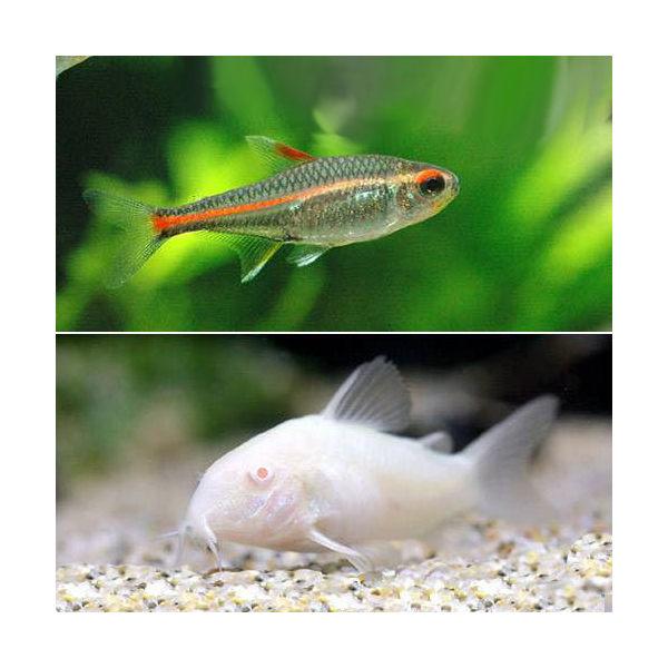 (熱帯魚)グローライト・テトラ(10匹)