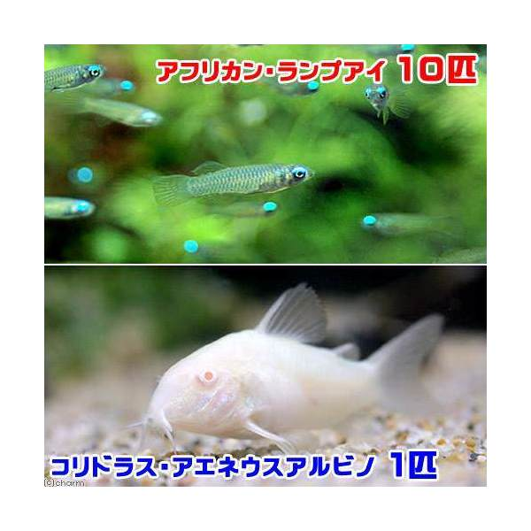 (熱帯魚)アフリカン・ランプアイ(10匹)