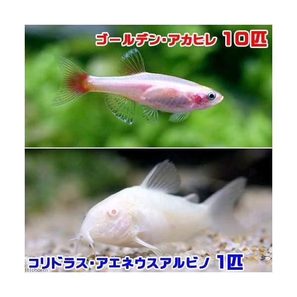 (熱帯魚)ゴールデンアカヒレ(10匹)