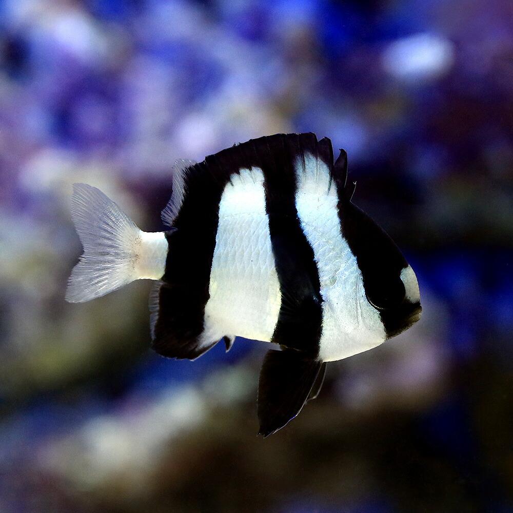 (海水魚)ミスジリュウキュウスズメダイ(5匹)