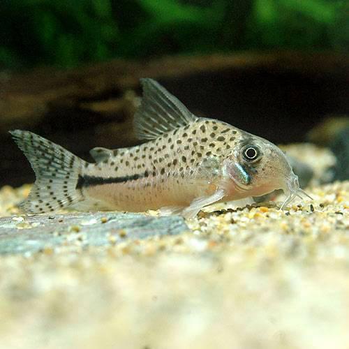(熱帯魚)コリドラス・ペルーボンディ(ワイルド)(1匹)