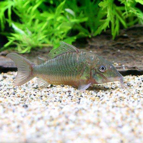 (熱帯魚)ブロキス・スプレンデンス(ワイルド)(1匹)