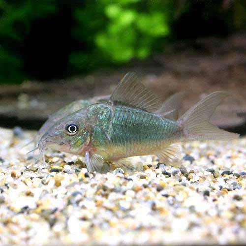 (熱帯魚)ブロキス・スプレンデンス(ブリード)(1匹)