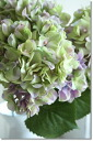 Hydrangea hydrangea flowers (the Univ. Grad ハイドレンジア (Lavender green) 5/26 (Monday) EST.