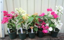 Bougainvillea vol. 3.5 pot plant