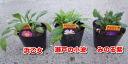 쑥부쟁이의 재배품종레(미야코와스레) 모종