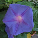 Perennial plant morning glory (morning glory) ocean blue
